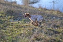 Roxane Dite Asta Du Clos Chassrêve, chien Épagneul breton