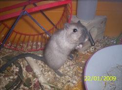 Basile, rongeur Gerbille