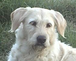 Crystale, chien Grand Griffon vendéen