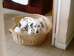 Joker, chien Dalmatien