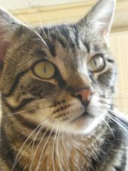 Lestat, chat Européen