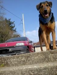 Zakia, chien Beauceron