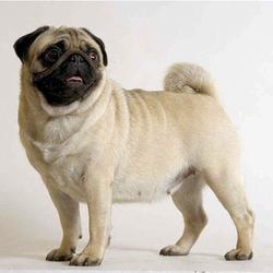 Baloo, chien Carlin