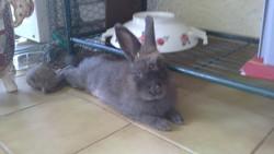 Fifi, rongeur Lapin