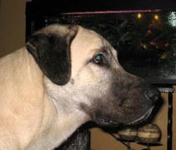 Ishtar, chien Berger d'Anatolie