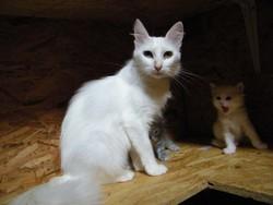 Cali De La Forêt Verte, chat Angora turc