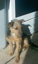 Falconne, chien Yorkshire Terrier