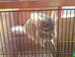 Hoggins, rongeur Chinchilla