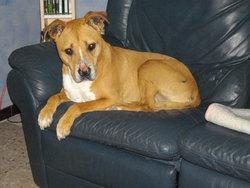 Trek, chien American Staffordshire Terrier
