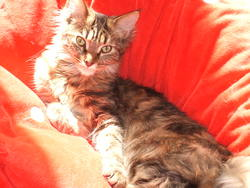 Tabi, chat Maine Coon