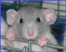 Gritzou, rongeur Rat