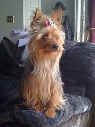 Mia, chien Yorkshire Terrier
