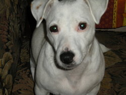 Lou, chien Jack Russell Terrier