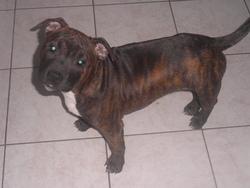 Fergie, chien Staffordshire Bull Terrier