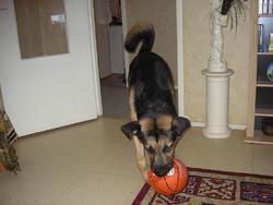 Omer, chien Malamute de l'Alaska