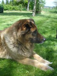 Tommy, chien Berger allemand