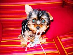 Saphira, chien Yorkshire Terrier