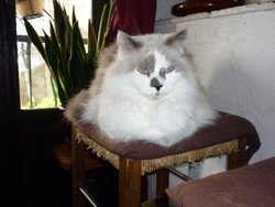 Grissouille, chat Ragdoll