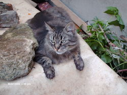 Lea, chat Maine Coon