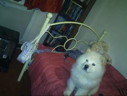 Erros, chien Chow-Chow