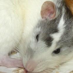 Stern, rongeur Rat