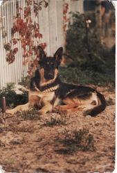 Manga Dcd, chien Berger allemand