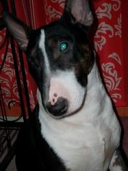 Degster, chien Bull Terrier