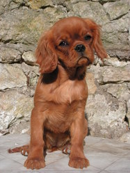 First Lady, chien Cavalier King Charles Spaniel