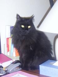 Sirocco, chat Européen