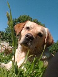 Noel, chien Labrador Retriever