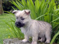 Kimy, chien Cairn Terrier