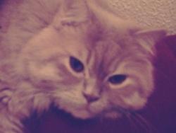 Attila, chat Persan