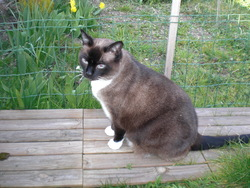 Mimoune, chat Siamois