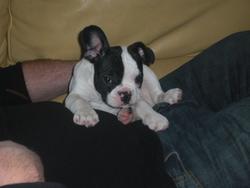 Fred, chien Bouledogue français