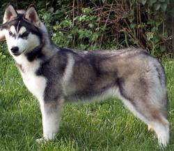 H'aiyana Des Perles Siberienne, chien Husky sibérien