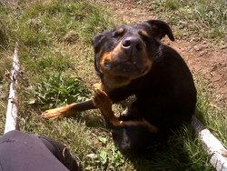 Pops, chien Beauceron
