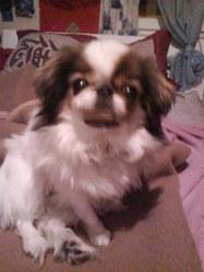 Sissi, chien Épagneul japonais