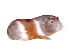 Leopold, rongeur Cochon d'Inde