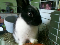 Opaline, rongeur Lapin