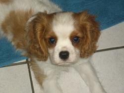 Filou, chien Cavalier King Charles Spaniel