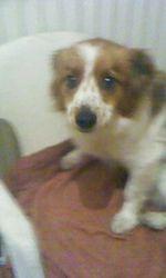 Rex, chien Yorkshire Terrier