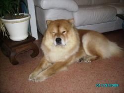 Anubis, chien Chow-Chow