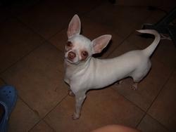 Chloé, chien Chihuahua