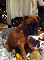 Fedor, chien Boxer