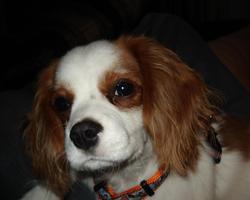 Duc, chien Cavalier King Charles Spaniel