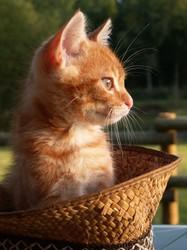 Ambre, chat Européen