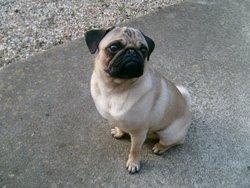 Bidull, chien Carlin