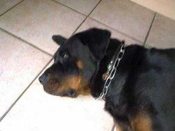 Anouchka, chien Rottweiler
