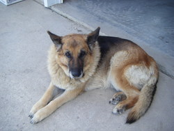 Ruby, chien Berger allemand