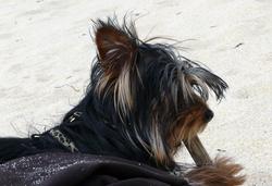 Coca, chien Yorkshire Terrier